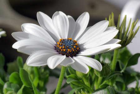 white daisy: Cape Daisy Flower