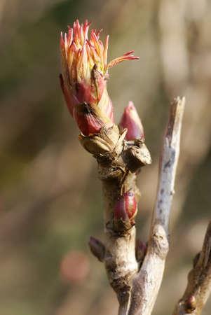 unfurl: Bud of a peony flower             Stock Photo