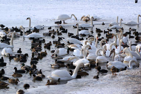 Swans and Ducks in the Winter                     photo