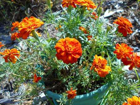 Marigolds growing in a pot
