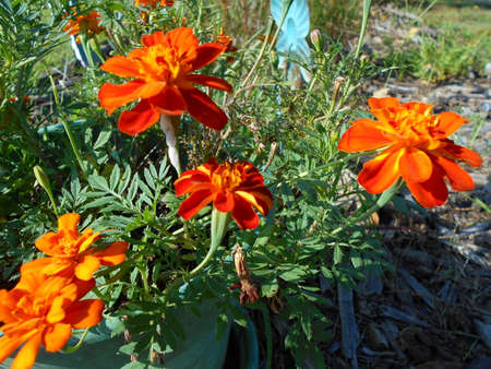 French Marigolds in a Pot Outdoors