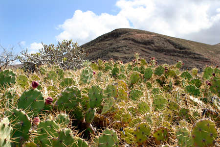 Big cactus in the wilderness of Lanzarote