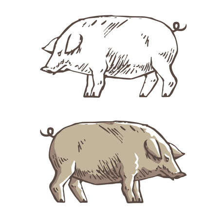 Vector illustration of pig in graphic style, hand drawing illustration. solated On White Background