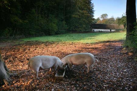 tierschutz: Bio-Freilandhaltung Schweine-Feed in einem traditionellen l�ndlichen Szene