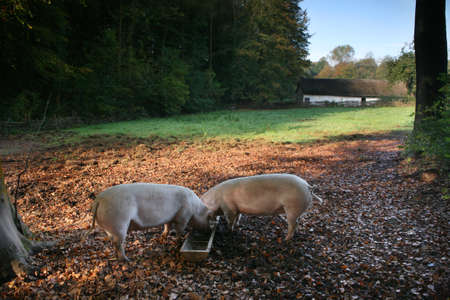 animal welfare: organic free range pigs feed in a traditional rural scene Stock Photo