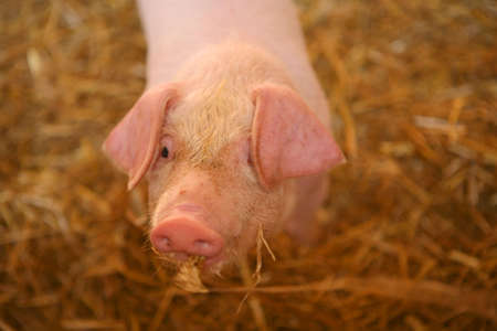 sty: piglet looks up from a straw filled sty