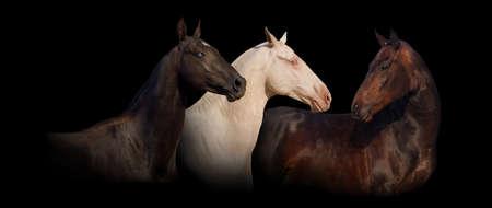 akhal teke: Three achal-teke horse portrait on black background