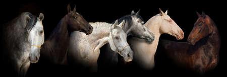 akhal teke: Six horse portrait on black background