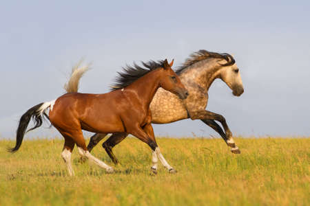 Two horse run gallop