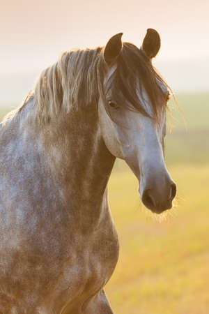 Grey lusitano horse portrait at sunrise