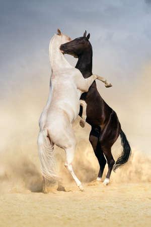 akhal teke: Two achal-teke horses play on desert dust Stock Photo