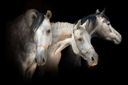 Portrait of three grey horse on black background