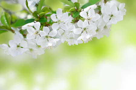 Cherry tree blossoms in the spring in the garden photo