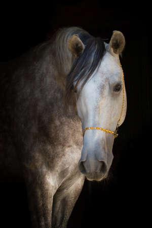 akhal teke: Horse portarit on the black background