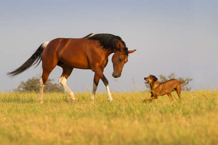Red horse run with dog in the field