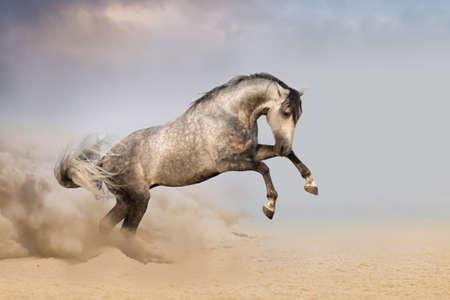 animales del desierto: Beautifyl caballo gris que galopa en la arena del desierto al atardecer