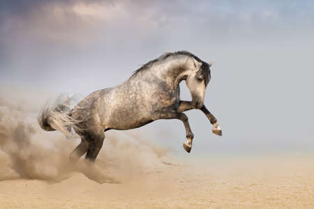 Beautifyl grey horse galloping in desert sand at sunset