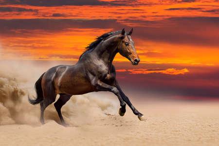 free running: Beautiful bay horse free running