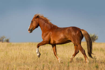 chestnut male: Beautiful white horse trotting in the summer field