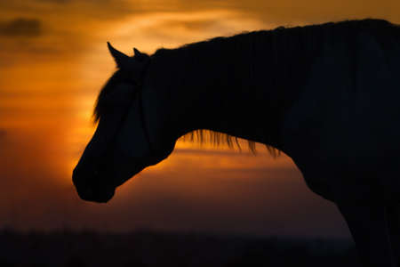 trotting: Beautiful horse silhouette against the sunset sky