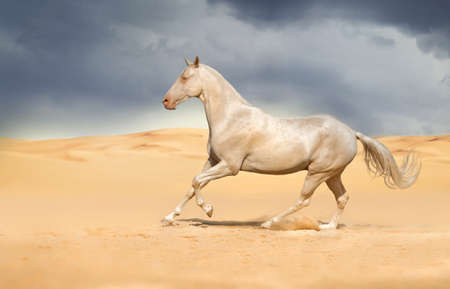 trotting: Akhal-teke horse run gallop in the desert