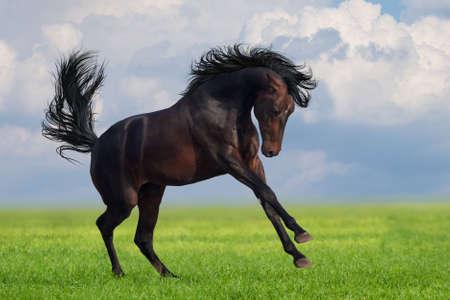 Bay horse runs gallop on the green field Stockfoto