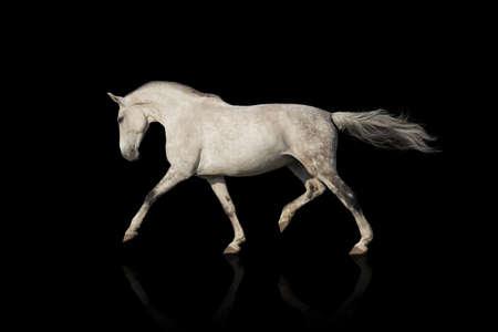 White horse trotting Imagens