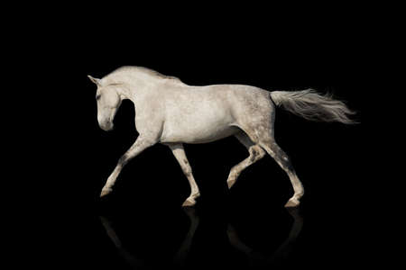 trotting: White horse trotting Stock Photo