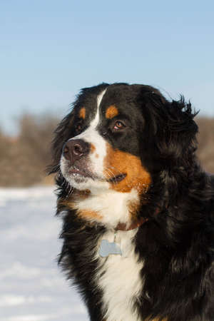 bernese dog: Bernese mountain breed dog portraite in winter outdoors