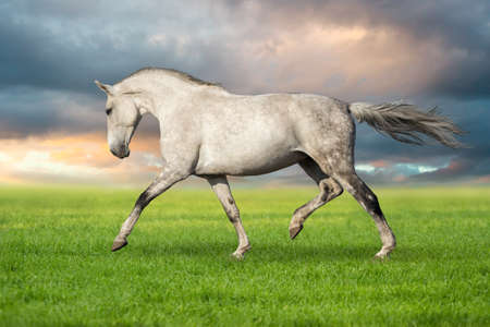 trotting: Beautiful white horse trotting against sunset sky