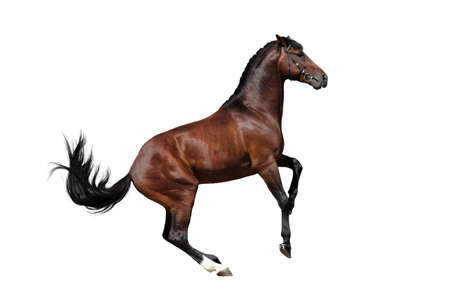 Bay stallion isolated on white background