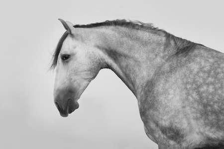 gray horse: Grey lusitano horse portrait at sunrise