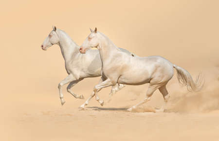 akhal teke: Group of horse run gallop with clouds of dust Stock Photo