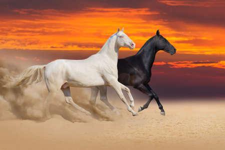 Two beautiful akhal-teke horses run in desert against sunset sky
