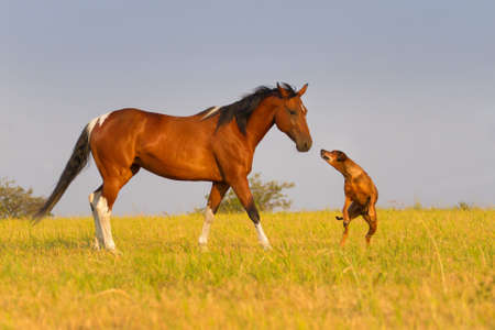 Rode paard lopen met de hond in het veld Stockfoto