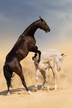 akhal teke: Two achal-teke horses fight on desert dust