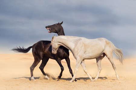 trotting: Two achal-teke horses fight on desert dust