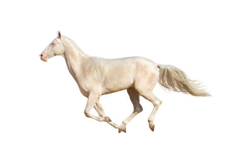 akhal teke: Beautiful horse run gallop on white background