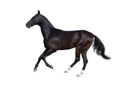 Beautiful akhal-teke horse run gallop isolated on white background