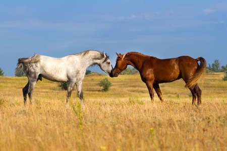 Grey and red horse mating in the field Stock Photo