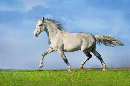 Grijs paard draven Stockfoto