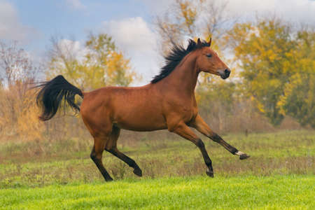 Beautiful bay stallion running on the meadow against blue sky