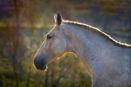 Portrait of beautiful grey horse at sunset light