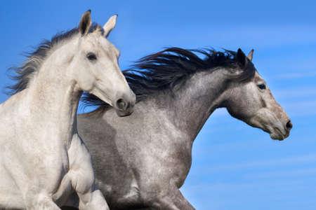 akhal teke: Couple of horse run Stock Photo