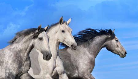 akhal teke: Horses portrait in motion against blue sky