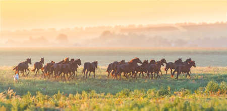 Beautiful horse herd run in the meadow at sunset Imagens