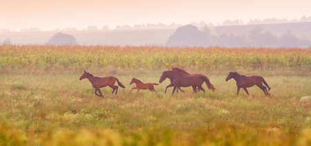 beast ranch: Beautiful horse herd run in the meadow at sunset Stock Photo