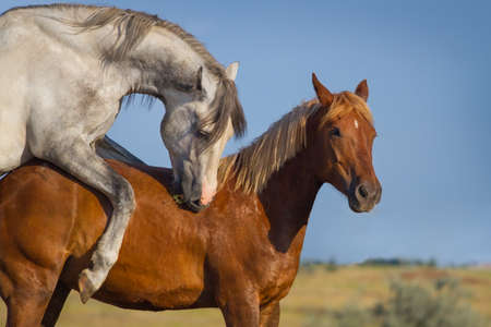coupling: Grey and red horse mating in the field Stock Photo