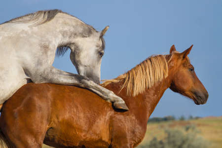 mating colors: Grey and red horse mating in the field Stock Photo