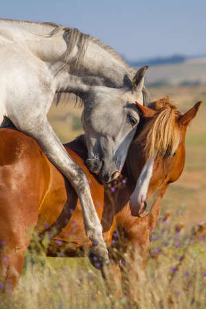 mating colors: Two horse coupling